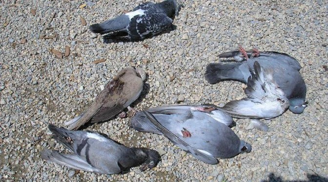 veleno per piccioni